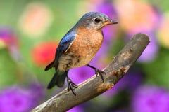 Female Eastern Bluebird Stock Image