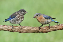 Female Eastern Bluebird With Baby Royalty Free Stock Images
