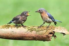 Female Eastern Bluebird With Baby. Female Eastern Bluebird (Sialia sialis) with her baby stock images