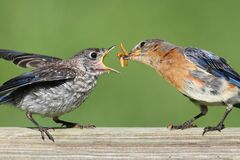 Female Eastern Bluebird With Baby Royalty Free Stock Image