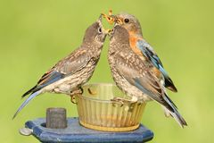 Female Eastern Bluebird With Baby Stock Images