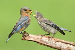Female Eastern Bluebird With Baby stock image