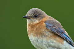 Female Eastern Bluebird Close-up Stock Photography