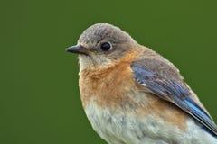 Female Eastern Bluebird Close-up Stock Photography