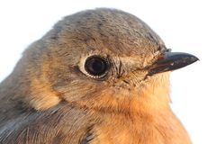 Female Eastern Bluebird Royalty Free Stock Photos