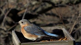 Female Eastern Bluebird defending meal worms. From a Starling on a cold windy winter day in Pennsylvania stock video