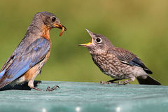 Female Eastern Bluebird Feeding A Baby stock photos
