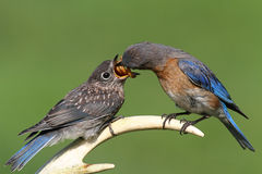 Female Eastern Bluebird Feeding A Baby. Female Eastern Bluebird (Sialia sialis) feeding a hungry baby on a deer antler stock images