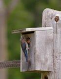 Female eastern bluebird feeding young stock photo