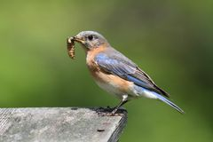 Female Eastern Bluebird With Insect Stock Photos