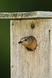 Female Eastern Bluebird Looking Out of Nest Cavity Stock Photo