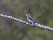 Female Eastern Bluebird with Mealworms in Beak Stock Photography