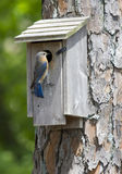 Female Eastern Bluebird Perched on a Birdhouse. A single female Eastern Bluebird perched on her birdhouse checking on the baby birds inside.  The wooden Stock Photo