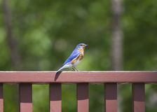 Female Eastern Bluebird with Insect. A single female Eastern Bluebird perched on a deck railing with an insect in her beak Royalty Free Stock Photography