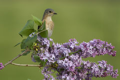 Female Eastern Bluebird Perched in Lilacs Royalty Free Stock Photos