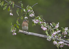 Female eastern bluebird perched in pink flowers Stock Images