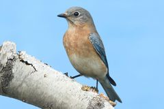 Female Eastern Bluebird (Sialia sialis). On a birch perch with a blue background Stock Photo