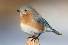 Female Eastern Bluebird Royalty Free Stock Images