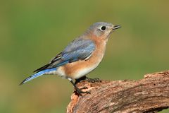 Female Eastern Bluebird Royalty Free Stock Image
