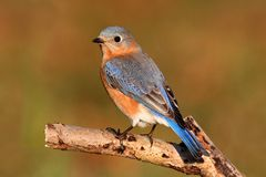 Female Eastern Bluebird Royalty Free Stock Photography