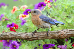 Female Eastern Bluebird Stock Photography
