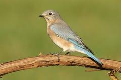Female Eastern Bluebird Royalty Free Stock Photo