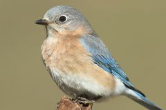 Female Eastern Bluebird Royalty Free Stock Photo