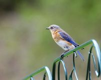 Female Eastern Bluebird. (Sialia sialis) sits on a green fence in spring Royalty Free Stock Photos