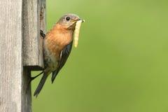 Female Eastern Bluebird Stock Photography