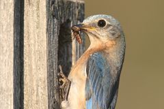 Female Eastern Bluebird Stock Photos