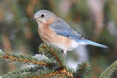 Female Eastern Bluebird in Snow Stock Image