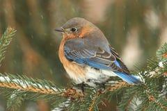 Female Eastern Bluebird in Snow Stock Photo