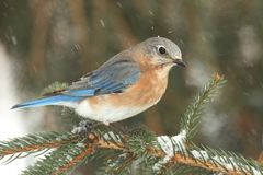 Female Eastern Bluebird in Snow. Female Eastern Bluebird (Sialia sialis) on a snow covered perch Stock Images