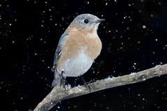 Female Eastern Bluebird in Snow Royalty Free Stock Photos