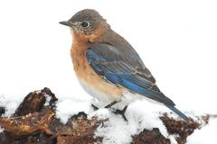Female Eastern Bluebird in Snow Stock Photography