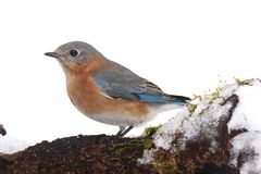 Female Eastern Bluebird in Snow Stock Images