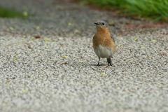 Eastern Bluebird - Sialia sialis. Female Eastern Bluebird standing on a paved path. Ashbridges Bay Park, Toronto, Ontario, Canada Royalty Free Stock Image