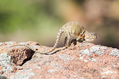 Female eastern collared lizard. Using breeding behaviors Stock Photography