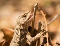 Female Eastern Fence Lizard Stock Photo