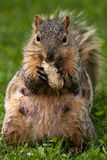 Female Eastern Fox Squirrel Stock Photo