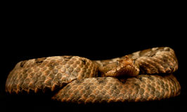 Female Eastern sand viper Royalty Free Stock Photo