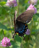 Female Eastern Tiger Swallowtail in Flight Stock Images