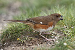 Female Eastern Towhee Eating a Seed Royalty Free Stock Image