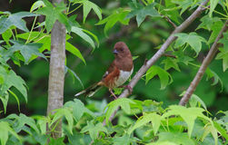Female eastern towhee Royalty Free Stock Image