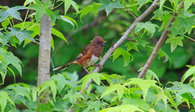 Female eastern towhee Stock Photos