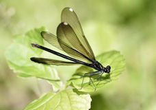 Female Ebony Jewelwing Damselfly. Female Ebony Jewelwinged Damselfly with spread wings Royalty Free Stock Photo