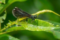 Ebony Jewelwing Damselfly - Calopteryx maculata. Female Ebony Jewelwing Damselfly perched on a leaf. Also known as the Black-winged Damselfly. Edwards Gardens royalty free stock photos
