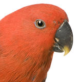 Female Eclectus Parrot Royalty Free Stock Image
