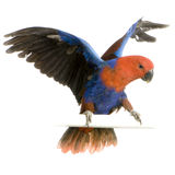 Female Eclectus Parrot Royalty Free Stock Photography