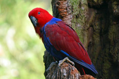 Female Eclectus Parrot Stock Photo
